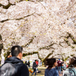 Students walking under the cherry blossoms
